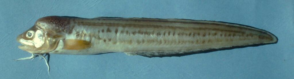 Ophidion marginatum