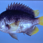 Chromis enchrysura