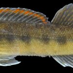 Percina oxyrhynchus