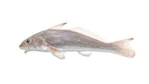 Menticirrhus littoralis