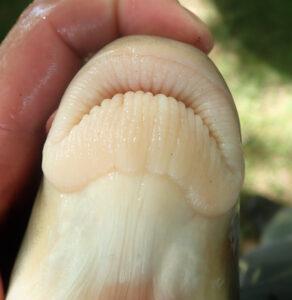 Moxostoma carinatum