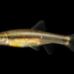 Nocomis platyrhynchus