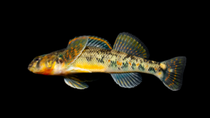 Etheostoma kanawhae