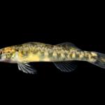 Etheostoma kanawhae Juvenile