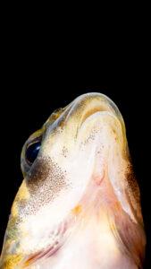 Etheostoma kanawhae Mouth