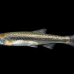 Notropis cf. micropteryx
