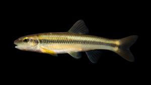 Nocomis micropogon