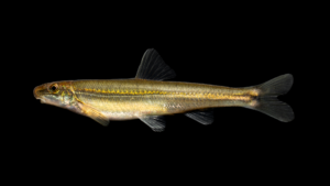 Phenacobius crassilabrum