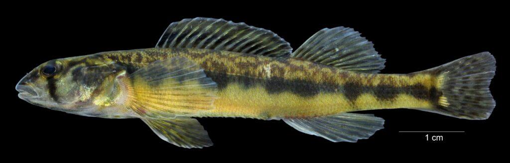 Percina gymnocephala