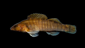 Etheostoma acuticeps