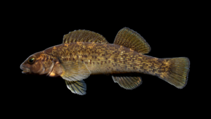 Etheostoma chlorobranchium
