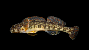 Etheostoma gutselli