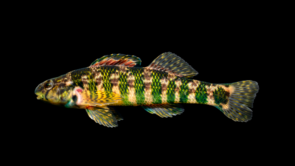 Etheostoma zonale