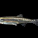 Notropis micropteryx