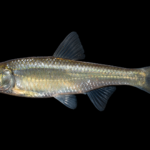 Luxilus chrysocephalus