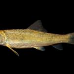 Moxostoma duquesnei