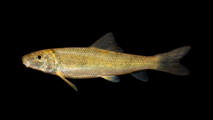 Moxostoma duquesnei