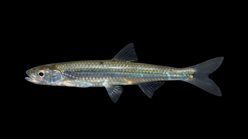 Notropis photogenis