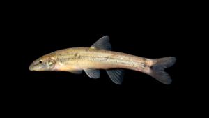 Rhinichthys cataractae
