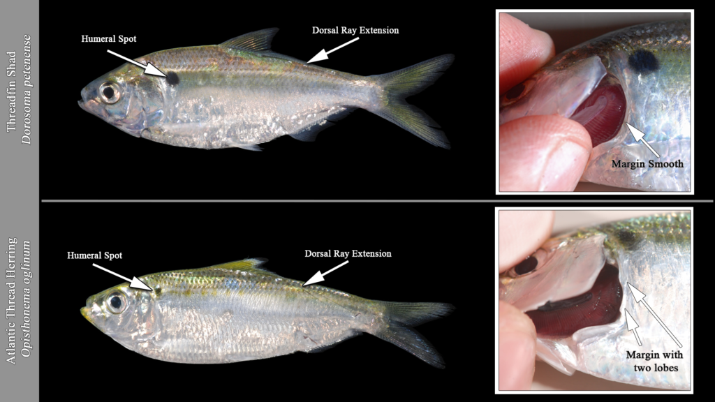 Threadfin Shad vs Atlantic Thread Herring
