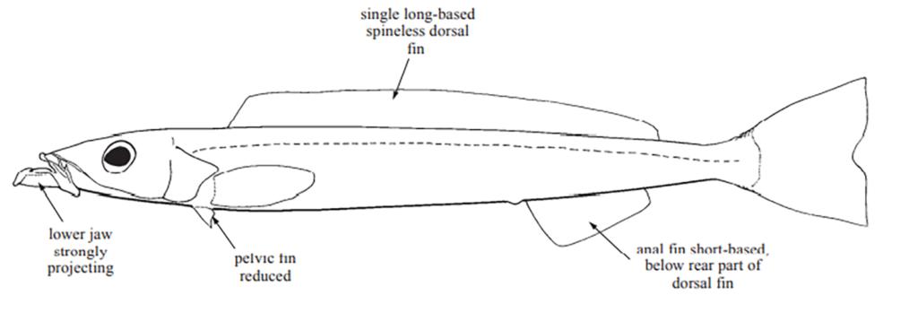 Ammodytes americanus