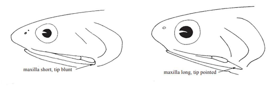 Anchoa maxilla