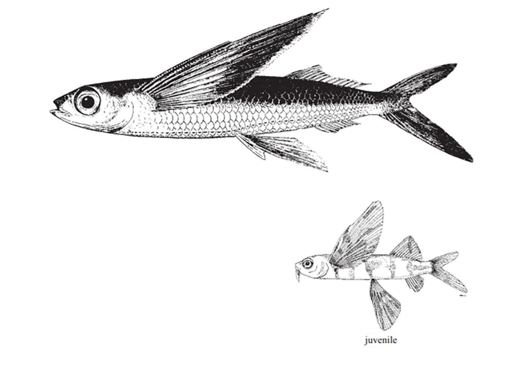 Cheilopogon melanurus