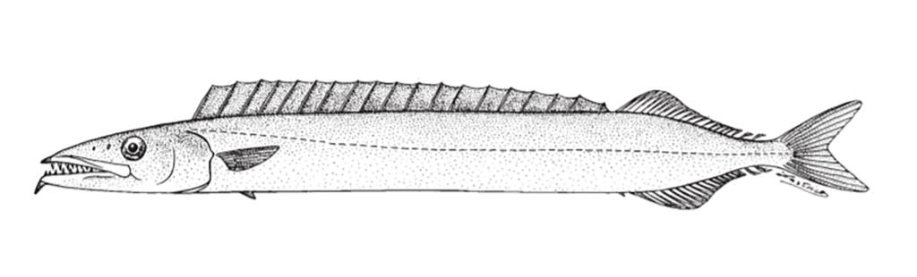 Nesiarchus nasutus