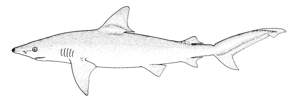 Carcharhinus acronotus