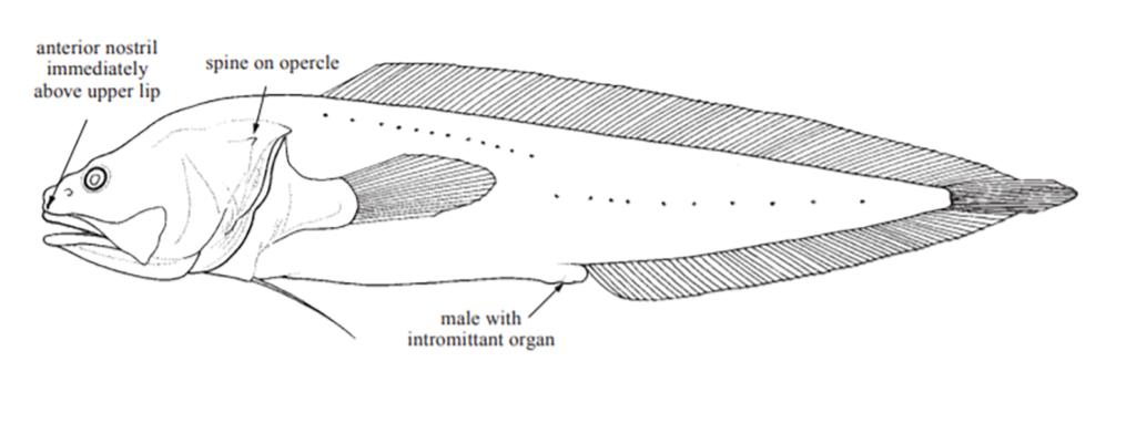 Bythitidae