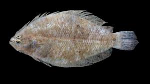 Citharichthys spilopterus