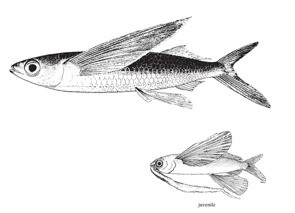 Cypselurus comatus
