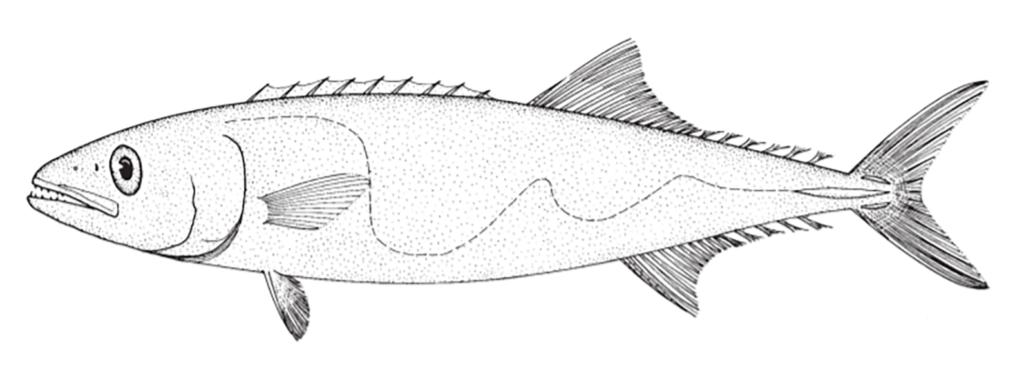 Lepidocybium flavobrunneum