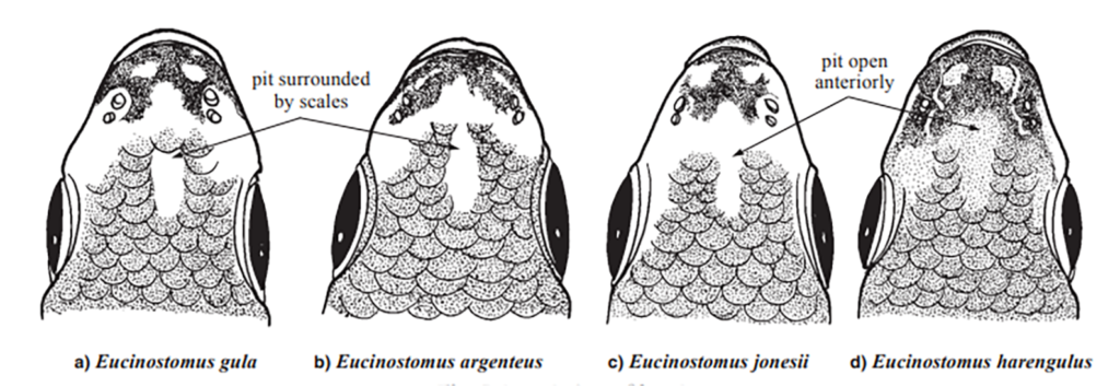 Eucinostomus snouts