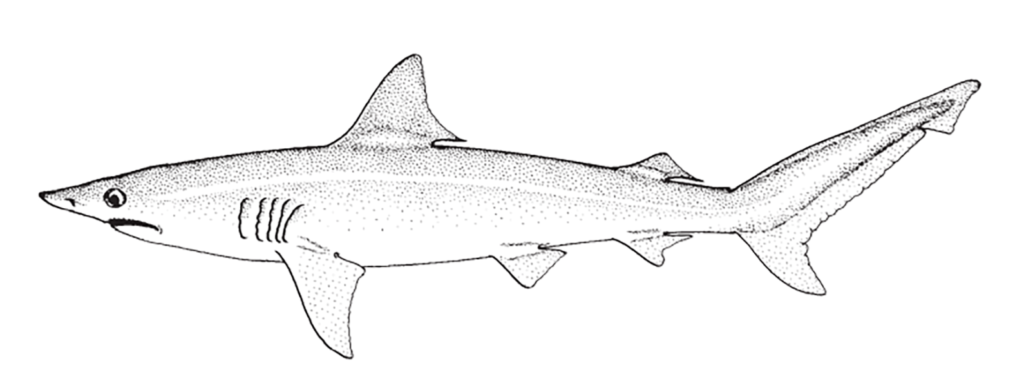 Carcharhinus isodon