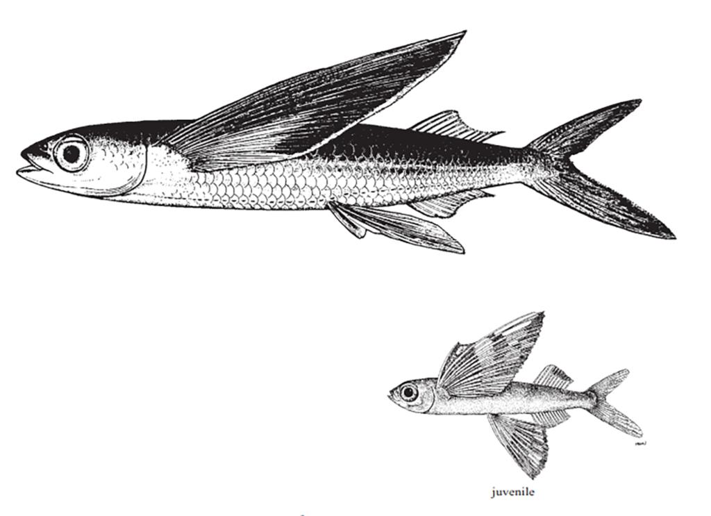 Hirundichthys affinis
