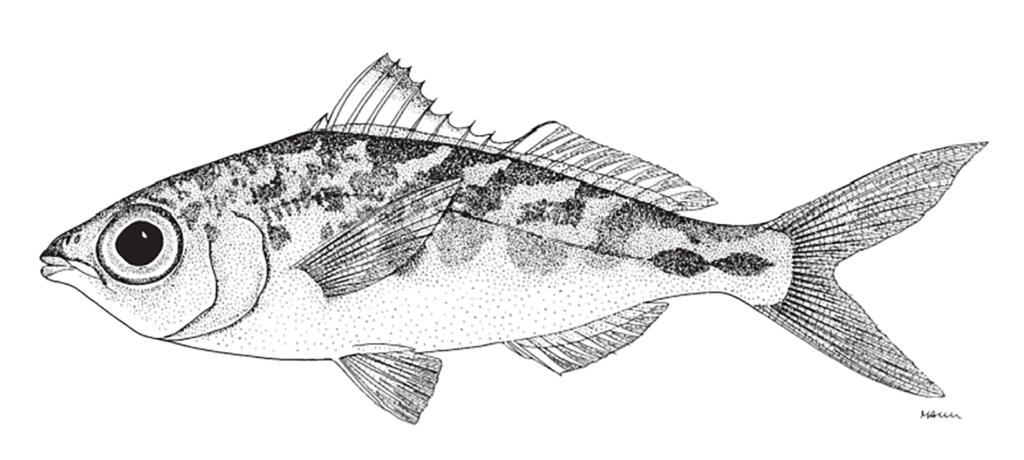 Eucinostomus lefroyi