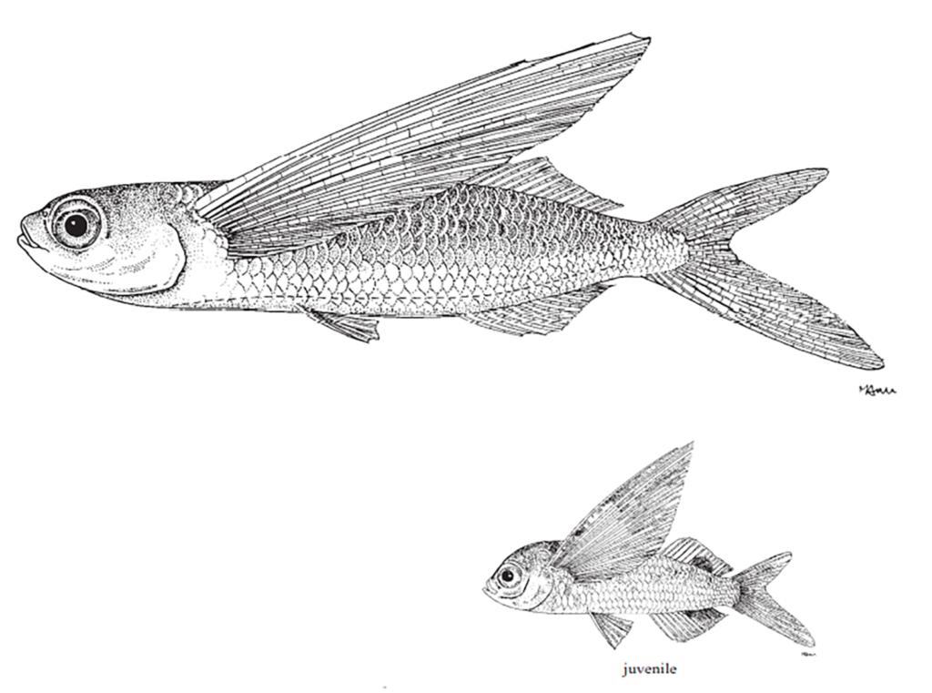 Exocoetus obtusirostris