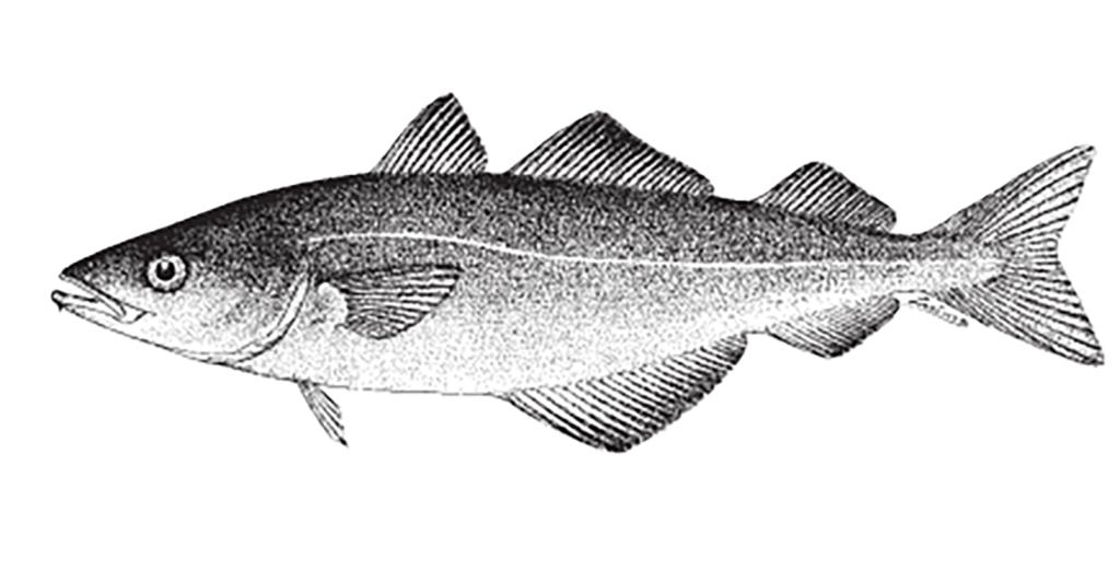 Pollachius virens