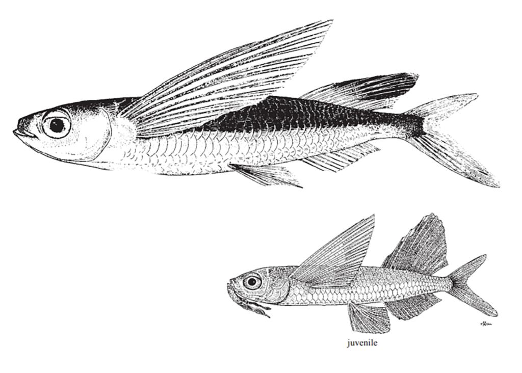 Parexocoetus hillianus