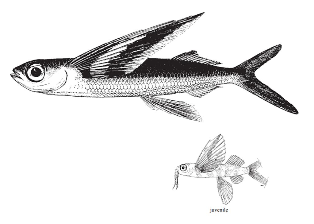 Cheilopogon furcatus