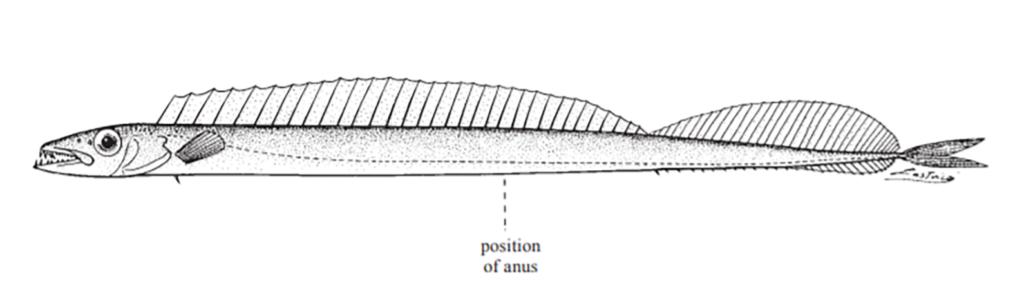 Diplospinus multistristus
