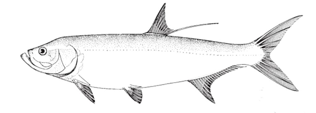 Megalops atlanticus