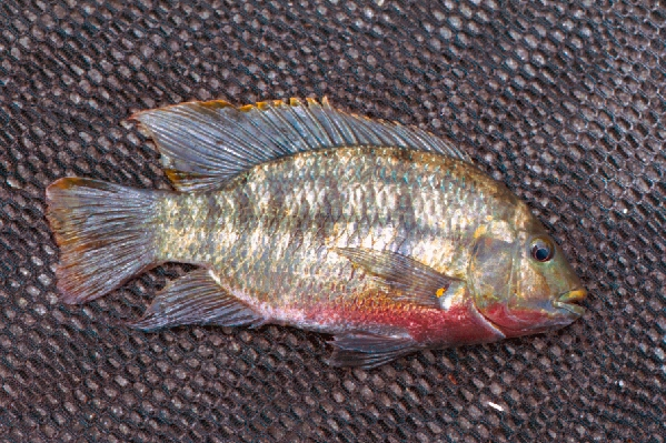 Redbelly Tilapia - Coptodon zilli - Photograph courtesy of Jan Hoover, Waterways Experiment Station, U.S. Army Corp of Engineers, https://nas.er.usgs.gov/queries/FactSheet.aspx?SpeciesID=485