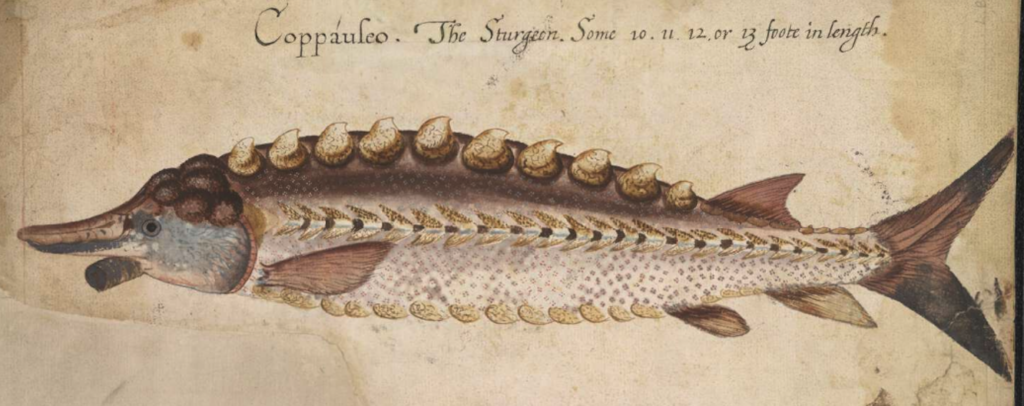 Acipenser oxyrhinchus - Atlantic Sturgeon - John White - Painting courtesy of the British Museum, Museum No. SL,5270.111 (https://www.britishmuseum.org/collection/object/P_SL-5270-111)