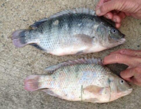 Nile Tilapia (?) - Oreochromis niloticus (?) - Lake Wylie, NC
