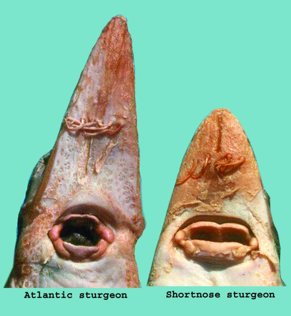 Acipenser mouths