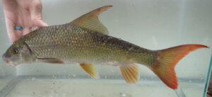 Moxostoma sp.
