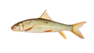 Moxostoma breviceps
