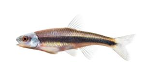 Notropis sp. Piedmont Shiner